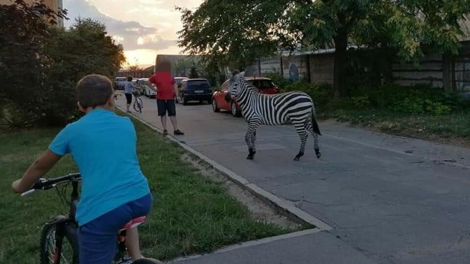 Po piešťanskom sídlisku sa voľne pohybovala zebra.