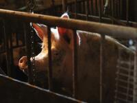 Mor ošípaných na východe: Aké nebezpečenstvo vám hrozí po konzumácii infikovaného mäsa?