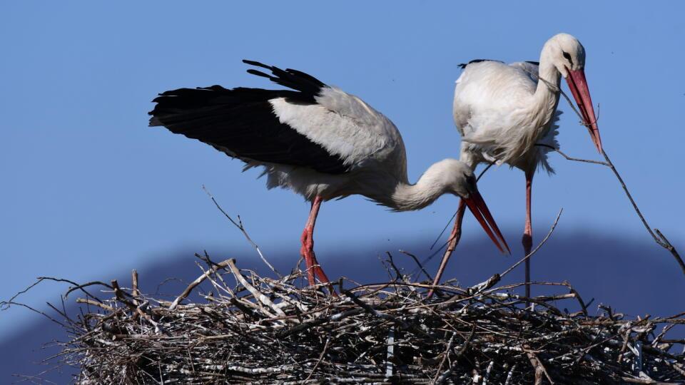 Bocian biely je chráneným druhom vtáka.
