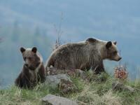 Medvede v dedinách: Ak bijú labou o zem, o chvíľu štartujú do útoku